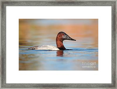 Male Canvasback Framed Print by Ruth Jolly