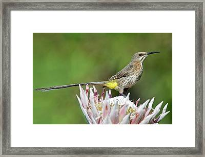 Male Cape Sugarbird Perched On A Protea Framed Print