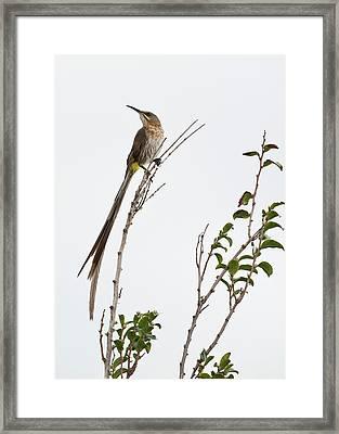 Male Cape Sugarbird Framed Print