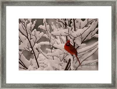 Male Cardinal Amongst Snowy Branches Framed Print