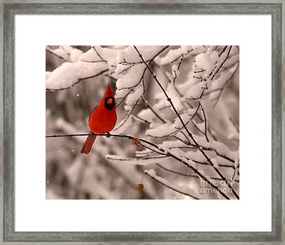 Male Cardinal In Snow Framed Print by Jane Axman