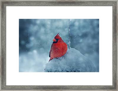 Male Cardinal In The Snow Framed Print by Sandy Keeton