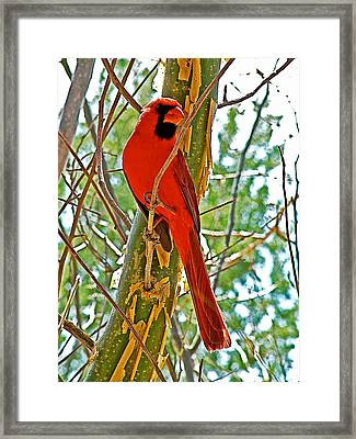 Male Cardinal In Tucson Sonoran Desert Museum-arizona Framed Print by Ruth Hager