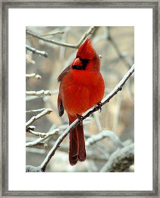 Framed Print featuring the photograph Male Cardinal  by Janette Boyd