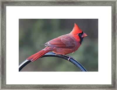 Male Cardinal Framed Print by John Kunze