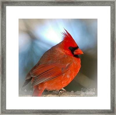 Framed Print featuring the photograph Male Cardinal  by Kerri Farley