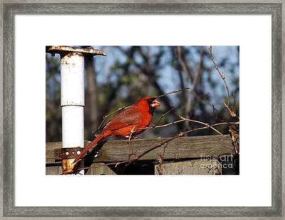 Male Cardinal On Fence Framed Print