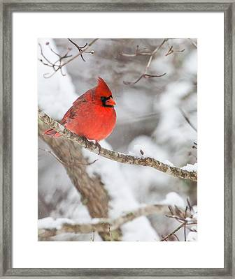 Male Cardinal On Snowy Branch Framed Print by Rob Travis