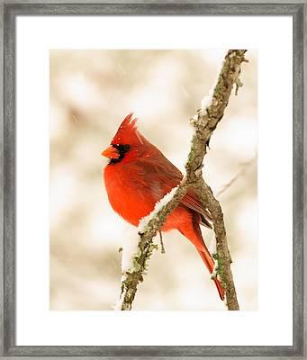 Male Cardinal Framed Print by Thomas Pettengill