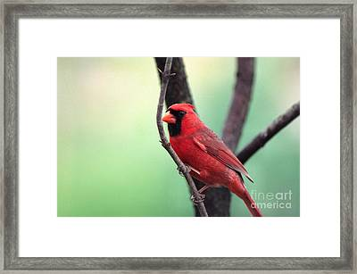 Male Cardinal Framed Print by Thomas R Fletcher
