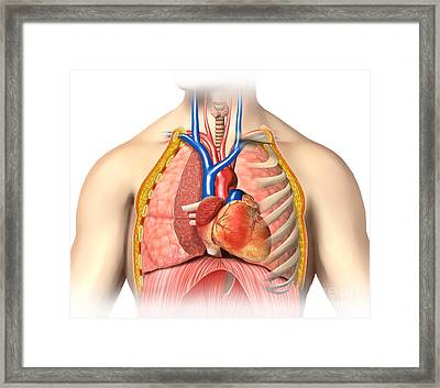 Male Chest Anatomy Of Thorax Framed Print by Leonello Calvetti