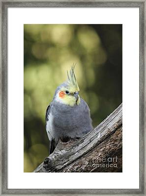 Framed Print featuring the photograph Male Cockatiel by Judy Whitton