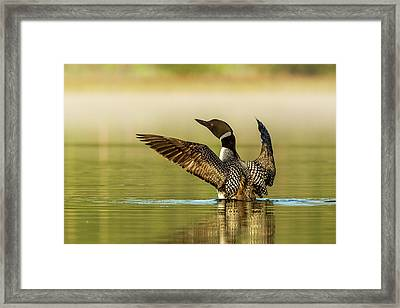 Male Common Loon Drying His Wings Framed Print