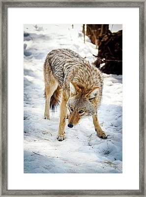 Male Coyote In Snow Framed Print by Paul Williams