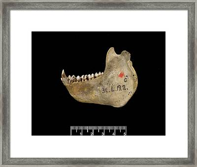 Male Delacour's Langur Jaw Framed Print by Natural History Museum, London/science Photo Library