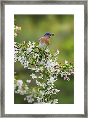 Male Eastern Bluebird Framed Print by Bill Wakeley