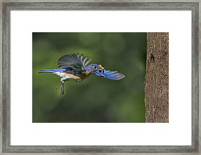 Male Eastern Bluebird Framed Print by Susan Candelario