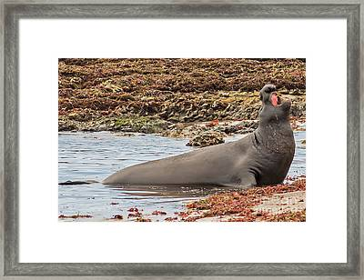 Male Elephant Seal Calling Framed Print