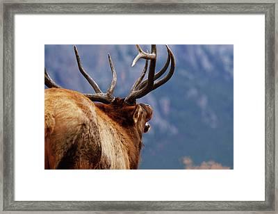 Male Elk Bugling During Rut, Estes Framed Print by Piperanne Worcester