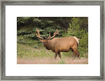 Framed Print featuring the photograph Male Elk In Velvet by Chris Scroggins