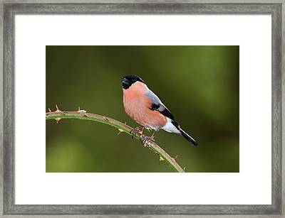Male Eurasian Bullfinch Framed Print