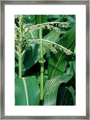 Male Flowers Of The Maize Plant Framed Print by Dr Jeremy Burgess/science Photo Library