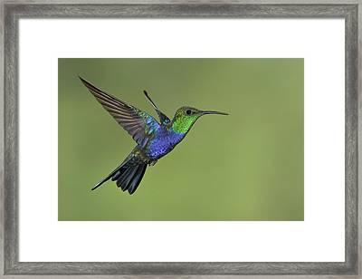 Male Fork-tailed Woodnymph  Manu Np Peru Framed Print