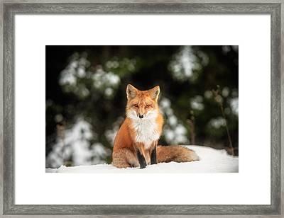 Male Fox Framed Print by Robert Clifford