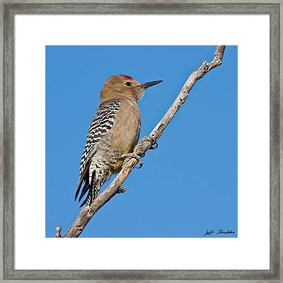 Male Gila Woodpecker Framed Print