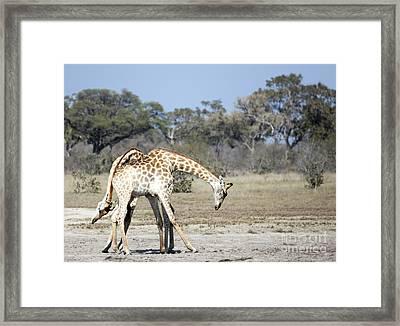 Male Giraffes Necking Framed Print