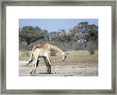 Framed Print featuring the photograph Male Giraffes Necking by Liz Leyden