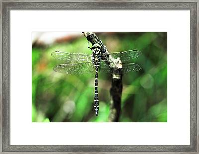 Male Golden-ringed Dragonfly Framed Print by Colin Varndell