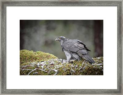 Male Goshawk Framed Print