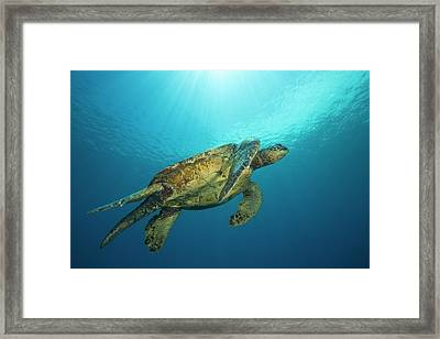 Male Green Sea Turtles  Chelonia Mydas Framed Print by Dave Fleetham