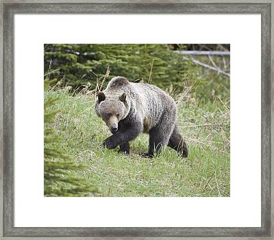 Male Grizzly In Kananaskis Framed Print