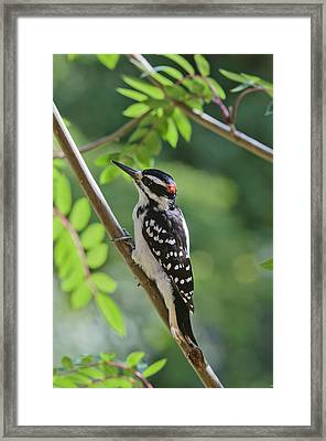 Male Hairy Woodpecker Picoides Villosus Framed Print by Kenneth Whitten
