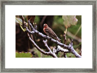 Male House Finch Framed Print