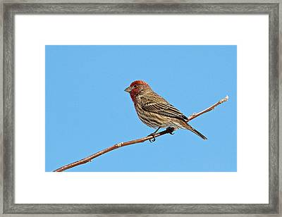 Male House Finch Framed Print by Dan Ferrin