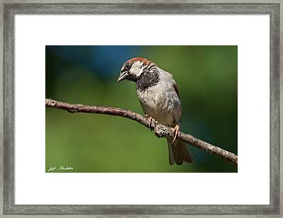 Male House Sparrow Perched In A Tree Framed Print