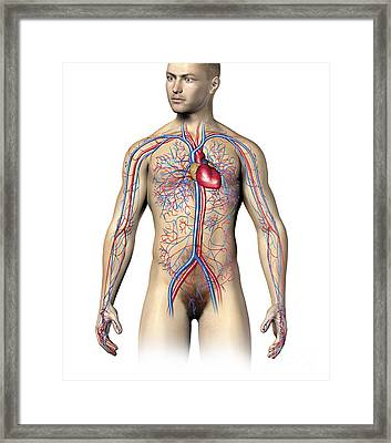 Male Human Circulatory System, Upper Framed Print