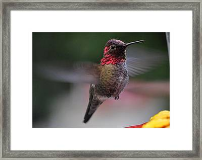 Male Hummingbird Anna In Flight Framed Print by Jay Milo