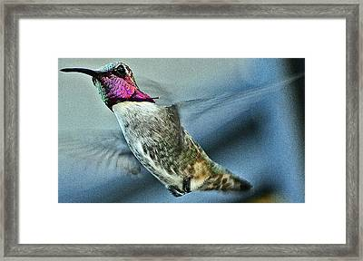 Framed Print featuring the photograph Male Hummingbird Free As A Bird by Jay Milo