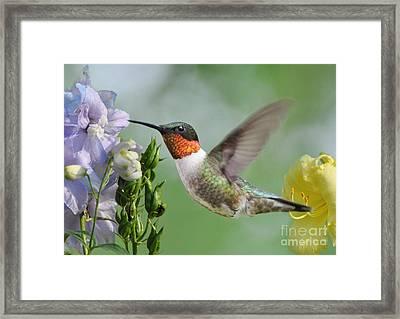 Male Hummingbird Framed Print