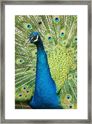 Male Indian Peacock Framed Print by Darleen Stry