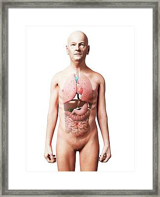 Male Internal Organs Framed Print