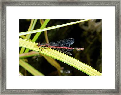 Male Large Red Damselfly Framed Print by Bob Gibbons