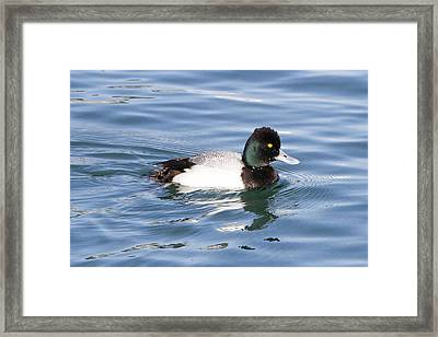 Male Lesser Scaup Framed Print by Shoal Hollingsworth