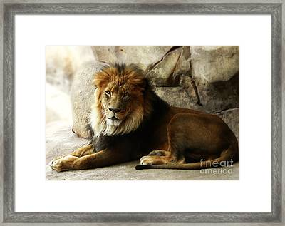 Male Lion At Rest Framed Print