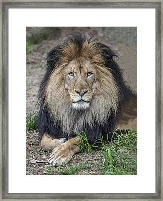 Male Lion Portrait Framed Print