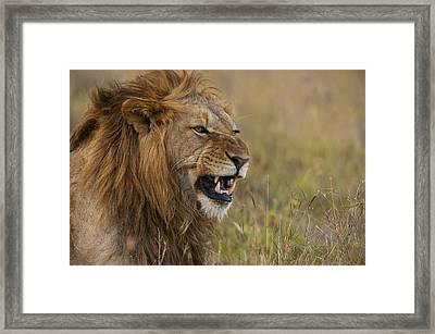 Male Lion Snarling In Ol Pejeta Framed Print by Ian Cumming
